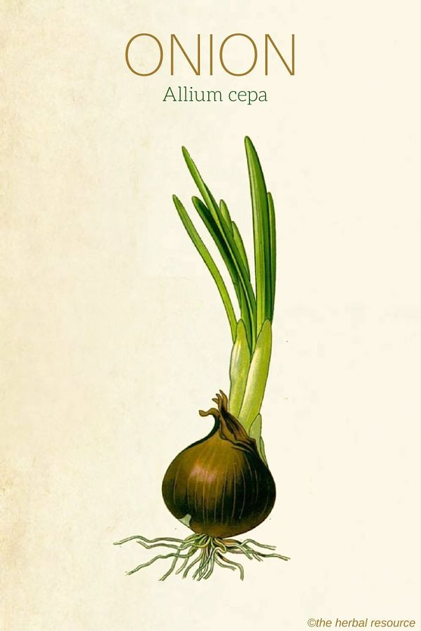 Onion – Uses and Health Benefits as a Medicinal Herb