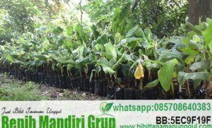 Jual bibit tanaman pisang berkualitas harga murah, bibit buah pisang bisa untuk kebutuhan sendiri atau komersial. Anda bisa langsung hubungi Kami sekarang.