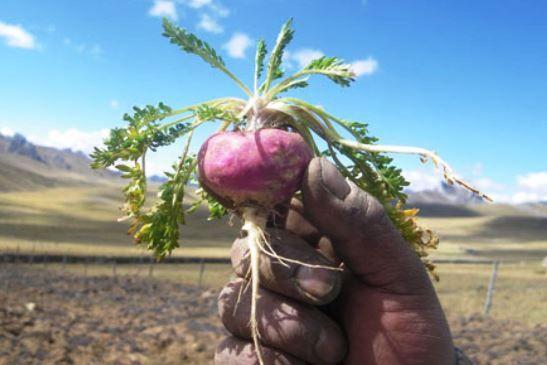 La maca es una planta herbácea cultivada en las regiones altas del Perú, a más de 3000 metros sobre el nivel del mar. Este cultivo, fue venerado y usado por los antiguos Incas como ofrendas para invocar a la fertilidad, la abundancia y la prosperidad. Actualmente, conocemos los múltiples beneficios que nos brinda la maca …