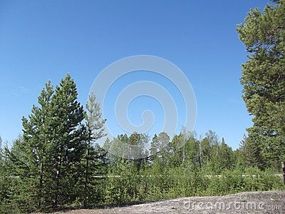 Pine Forest in Yakutia-Vilyuysk district