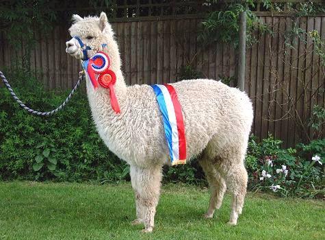 alpaca: Bestest Friends, Photos, Google Image, Royals Alpacas, Veggies Burgers, Alpacas Friends, Friends Creatures, Image Results, Workout