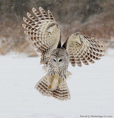 Snowy owl hunting wallpaper