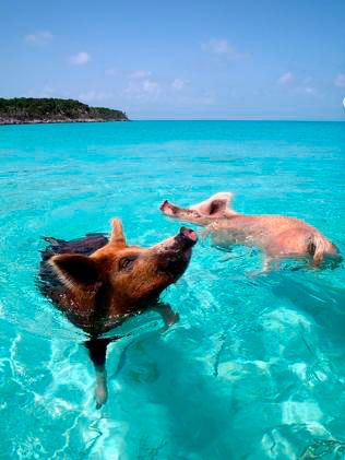 Pig Island | Raising Jane Journal These are the swimming pigs from Major Cay, an island in the Bahamas inhabited only by pigs.