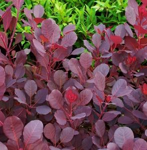Shrubs With Burgundy Red Foliage Red Leaf Plant Purple