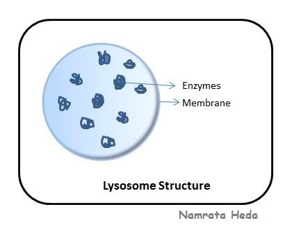 the o 39 jays on pinterest : lysosome diagram - findchart.co