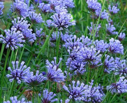 "Johnnye Merle's Gardens: Asperula orientalis ""Blue Woodruff"""