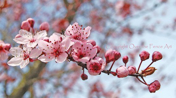Flower Photography Greeting Card Pink And Cranberry Cherry Etsy Flowering Cherry Tree Cherry Tree Flowers Photography