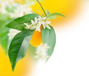 Cómo hacer aceite esencial de azahar