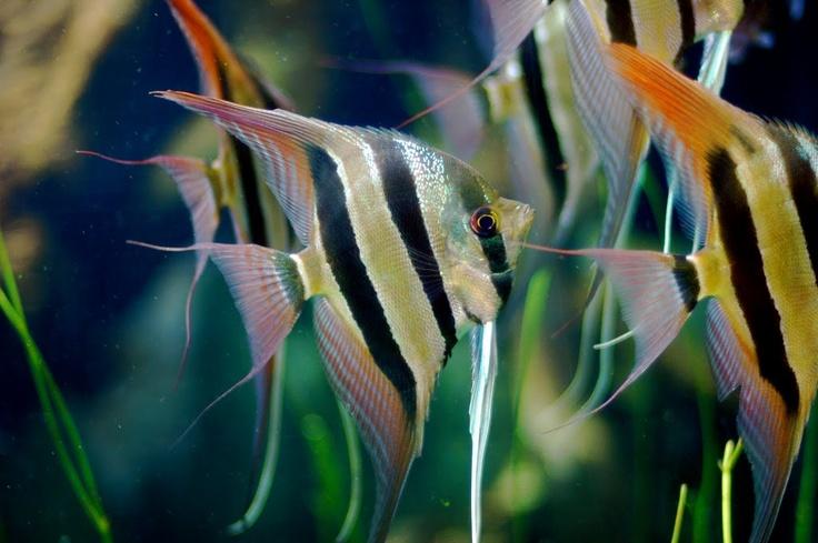 #Altum Angel Fish
