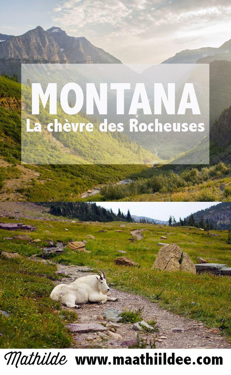 Connaissez-vous la chèvre des montagnes Rocheuses ?