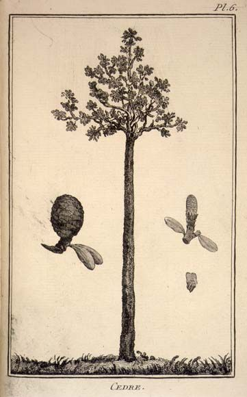 Drawing of a kauri tree