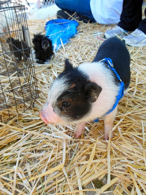 Baby potbelly pig