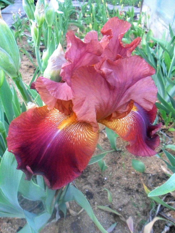 """Ирис бородатый """"КУБАНСКИЙ КАЗАК"""". Осипенко, 2003. М. Коричневые с фиолетовым оттенком верхние лепестки, и бархатистые, коричнево-фиолетовые нижние; бородка бронзовая. Гофрированный. Пряный аромат. Могучие цветоносы легко держат крупные цветки."""