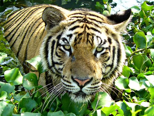 The Sumatran tiger is the only surviving species of Indonesian tiger.  Its wild population is believed to total less than 500 animals, with an estimated 150 breeding pairs. One of the most immediate threats to their survival comes from the destruction of critical habitat by the pulp and paper industry as it converts high value rainforests into monoculture pulp plantations.    http://ran.org/indonesia%E2%80%99s-rainforests-biodiversity-and-endangered-species