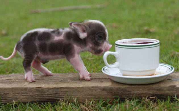 Credit To: http://www.theguardian.com/lifeandstyle/gallery/2009/nov/06/miniature-animals-pets   CUTE PIG! They r super good pets!
