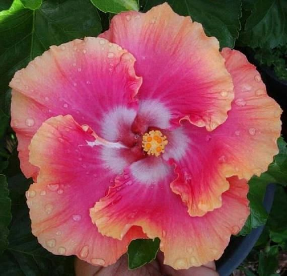 Rare Pink Orange Hibiscus Seeds Giant Tropical Fresh Flower Mallow
