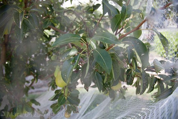 Bird netting has kept the birds away but not the cherry slug which has profoundly consumed the pears leaves, and yet the harvest seems unaffected with plenty of pears in sight.