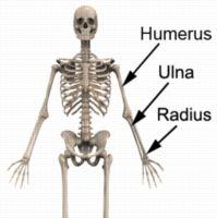 Ulna Fracture Anatomy