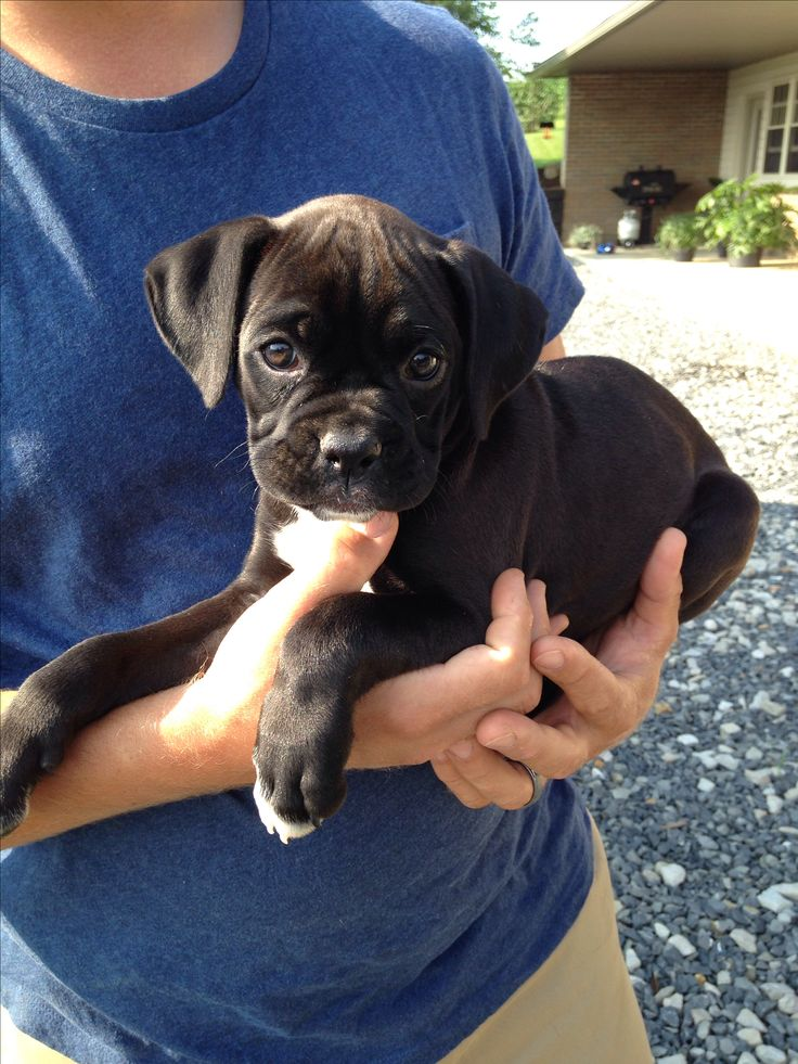 Gorgeous sealed brindle boxer baby!