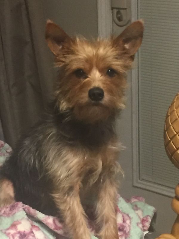 Kevin Adoptable Dog Adult Male Australian Terrier Yorkshire