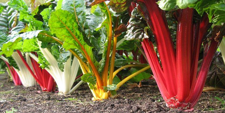 Acelgas A acelga é mais uma hortaliça com história. O seu uso na alimentação está registado desde o quarto século antes de Cristo principalmente na região costeira do mar Mediterrâneo. Conheça melhor esta planta.