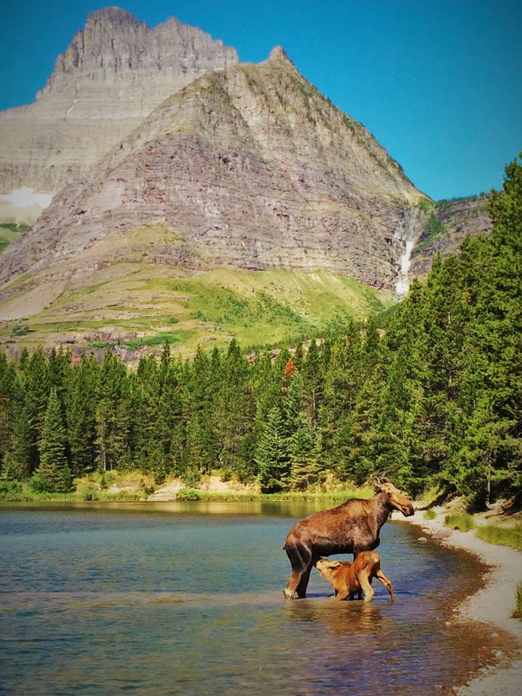 Cow and Calf Moose in Fishercap Lake, Glacier National Park, Montana  2traveldads.com