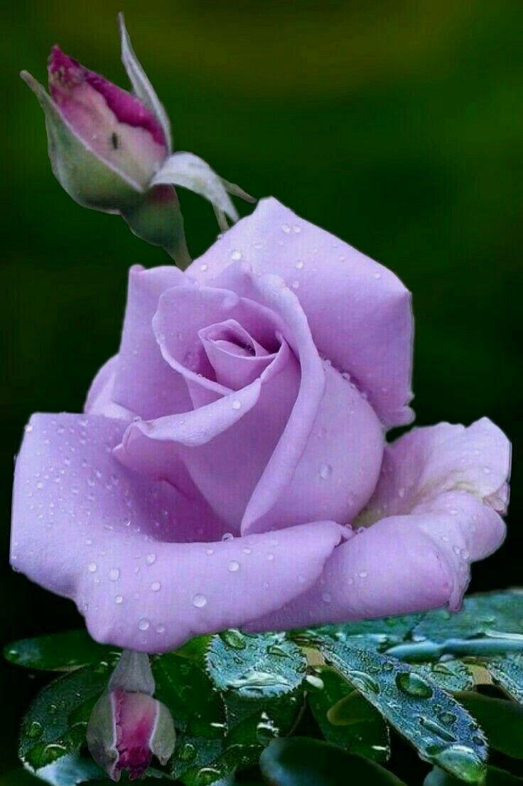 Красивые картинки цветы роз