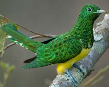 African Emerald Cuckoo, Chryso-coccyx cupreus- Mainly found in light and densely wooded forests in S. Africa, where there are Mopane trees. It eats insects such as butterflies, bees, wasps, locusts and ants which are usually hawked aerially, killed and then eaten. It does not built its own nest but rather invades the nest of other birds. If the bird does not find an empty nest it will attack the host (original nest owner) and displace it.