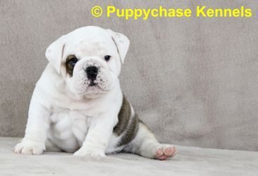 English Bulldog Puppy for Sale from Puppychase Kennels - Thor