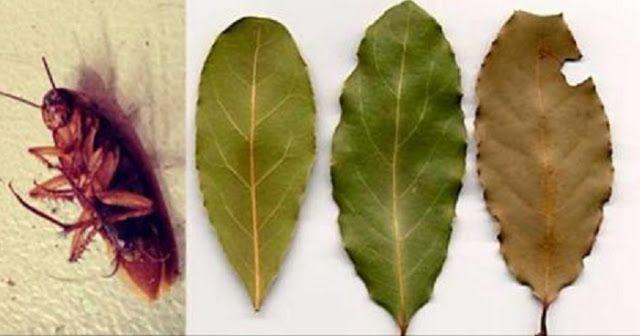 Placez quelques feuilles de cette plante dans tous les coins de votre maison et vous ne verrez plus jamais des cafards.