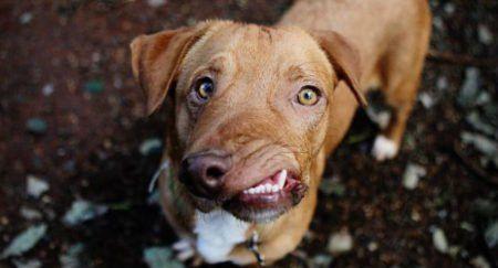 Ignorado no passado cão com focinho torto gera filas para adoção