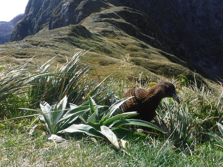 A Weka, the itinerary's namesake, forages around in the grass in Fiordland National Park.