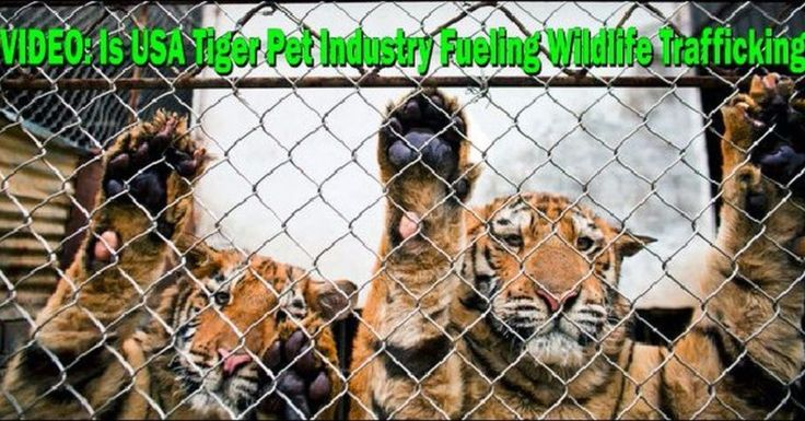 #Retweet #Video: Is The #USA #Pet #Tiger Industry Fueling #Wildlife #Poaching? #Tigers #WildlifePlanet Watch it Here http://ift.tt/2laL5XF