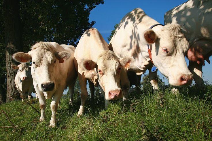 Hoeve In De Zon is een gemengde boerderij - akkerbouw en veeteelt - die prat gaat op haar 180 runderen van het streekgebonden maar met uitsterven bedreigde dubbeldoelras: witblauwe dubbeldoelkoeien. Duurzaam ondernemen is hier de leidraad. De dieren hebben het label