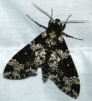 beautiful moths | ... moths seen here are white lined sphinx moths the only name i can