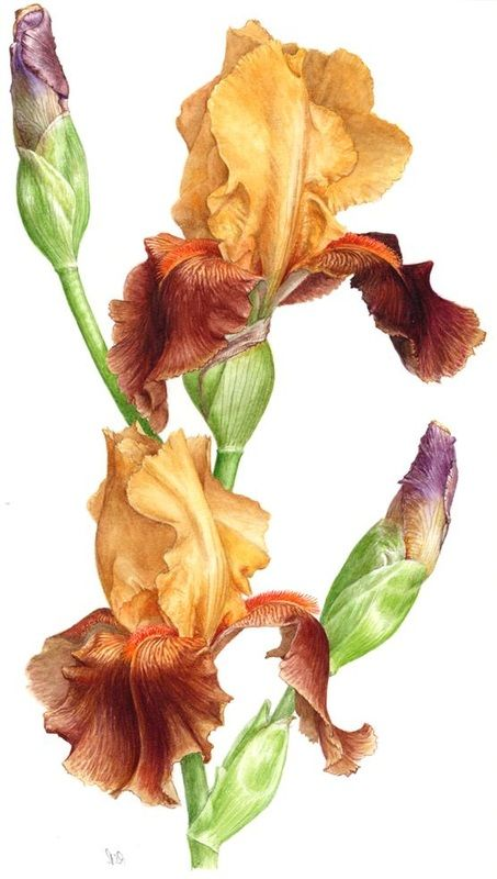 Floral Art - Roger Reynolds Botanical Art