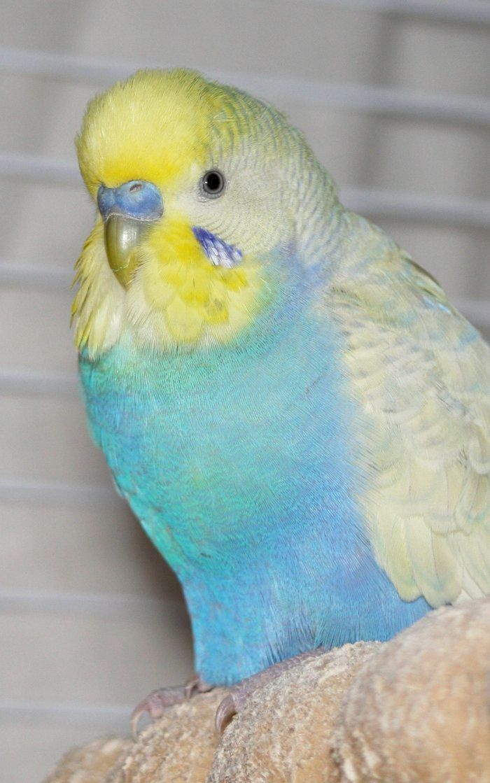 Terrific - Parakeets Mating Season #visit | Gras Parkiet