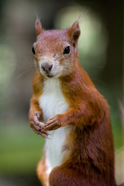 Red Squirrel at the British Wildlife Centre by Sophie L. Miller, via Flickr