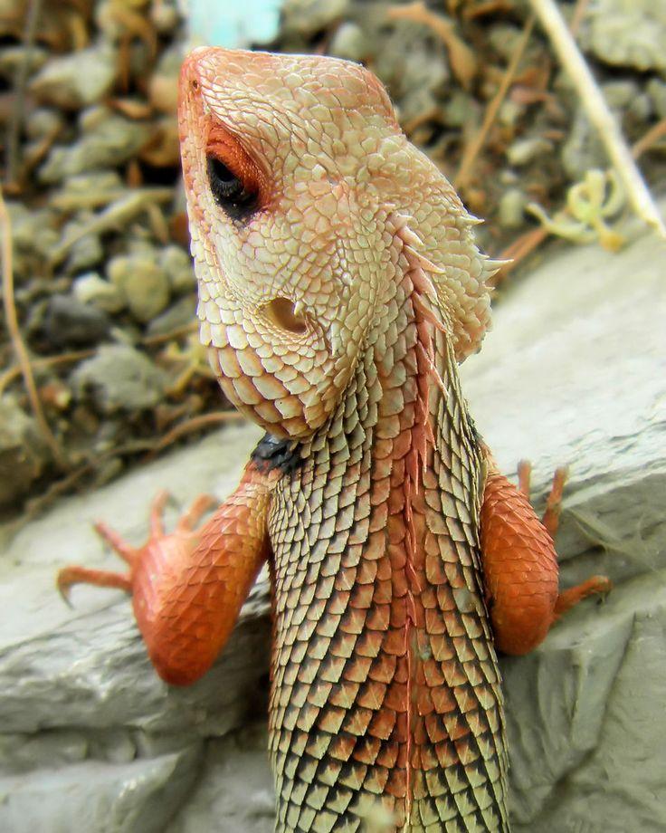 colored lizard