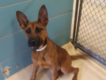 22980510 - 5 month old, female, German Shepherd Mix         ***URGENT*** Hillsborough County Animals need a rescue and/or a home and FAST - Shelter is **FULL**
