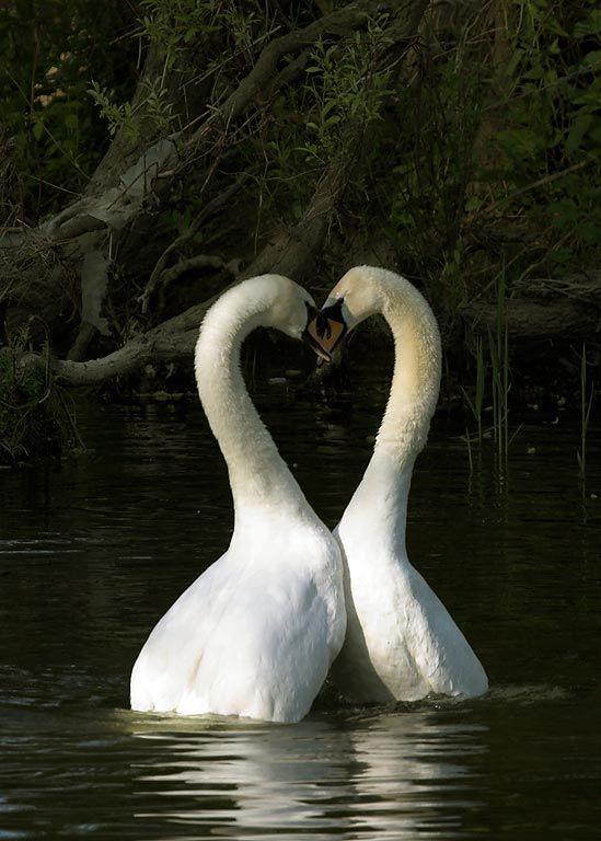Mute Swan mating dance..