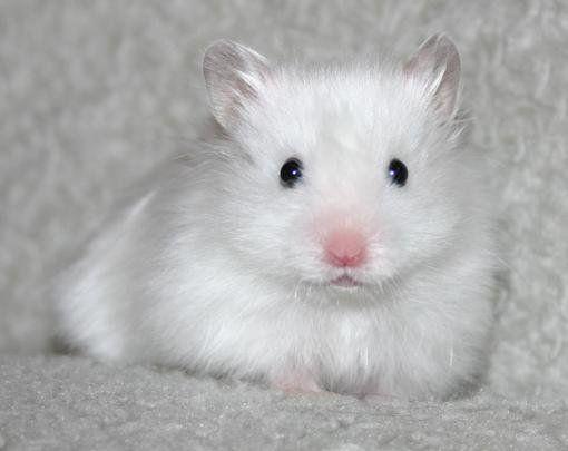 Dianthus Figaro - Satin Black-eyed White LH Syrian Hamster   Hamster iFokus