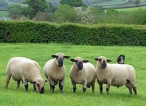 The Hampshire or Hampshire Down is a breed of sheep which originated around 1829 from a cross of Southdowns with the Old Hampshire breed, the Wiltshire Horn, and the Berkshire Nott, all horned, white-faced sheep — these were native to the open, untilled, hilly stretch of land known as the Hampshire Downs.