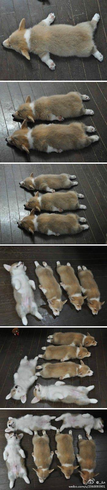 Cute sleeping corgi puppies