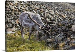 Svalbard reindeer buck in velvet, Spitsbergen, Norway, Scandinavia
