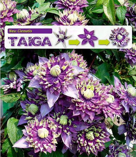 Die brandneue Raritäten-Klematis Taiga ® hat besonders raffinierte, auffällig…