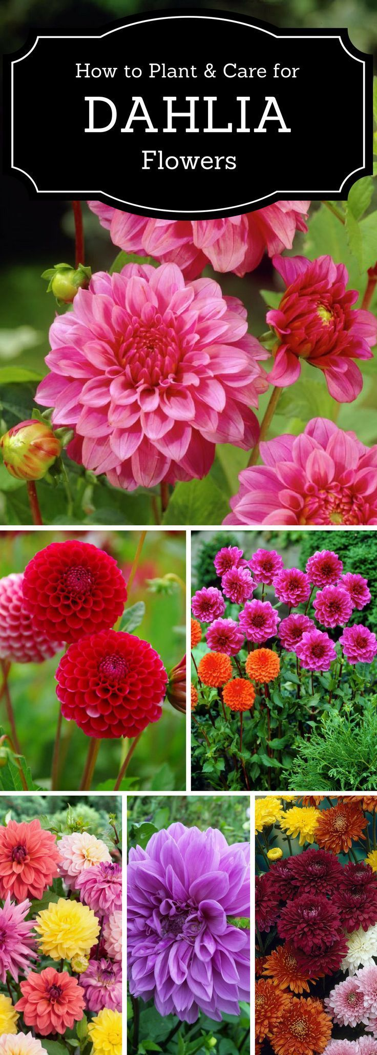 Top tips on how to plant, grow, and care for dahlia Gardening & Landscaping Project Ideas  Project Difficulty: Simple www.MaritimeVintage.com