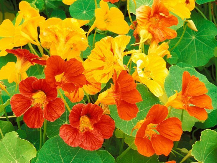 88 best Nasturtiums images on Pinterest Edible flowers Flowers