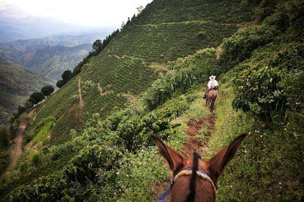 Finca La Vuelta Bonita ist an einem extrem steilen Hang in einer Höhe zwischen 1700 und 2100 m gelegen . Auf Grund der großen Höhe , braucht der Kaffee etwas länger, um zu reifen, was ihm einen besonderen Geschmack verleiht. Probiert es selber aus: http://www.thecoffeequest.de/?product=espresso-lopez