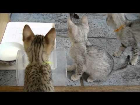 ▶ Cattery Asenka. Egyptische Mau kittens. Spelen - YouTube